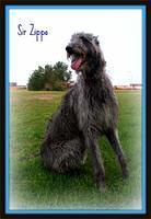 scottishdeerhound wilson